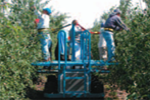 Large Orchard Harvesting