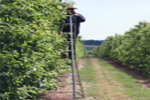 Green Apple Thinning